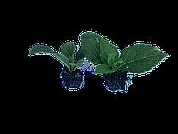 Укорененные черенки (саженцы) гортензии макрофила первый год в кассете 4х4х10 см