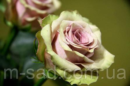 Роза Амнезия, фото 2