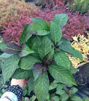 Гортензия крупнолистая краснолистная | Гортензія крупнолиста червонолиста | Hydrangea macrophylla (ЗКС)