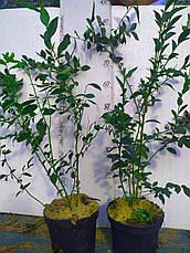 Торо саженцы голубики 3хлетние, фото 2