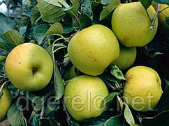 Яблоня Гринсливз (осень) М9, М106