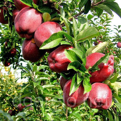 Яблоня зимняя Скарлет Спур. 2х летние саженцы