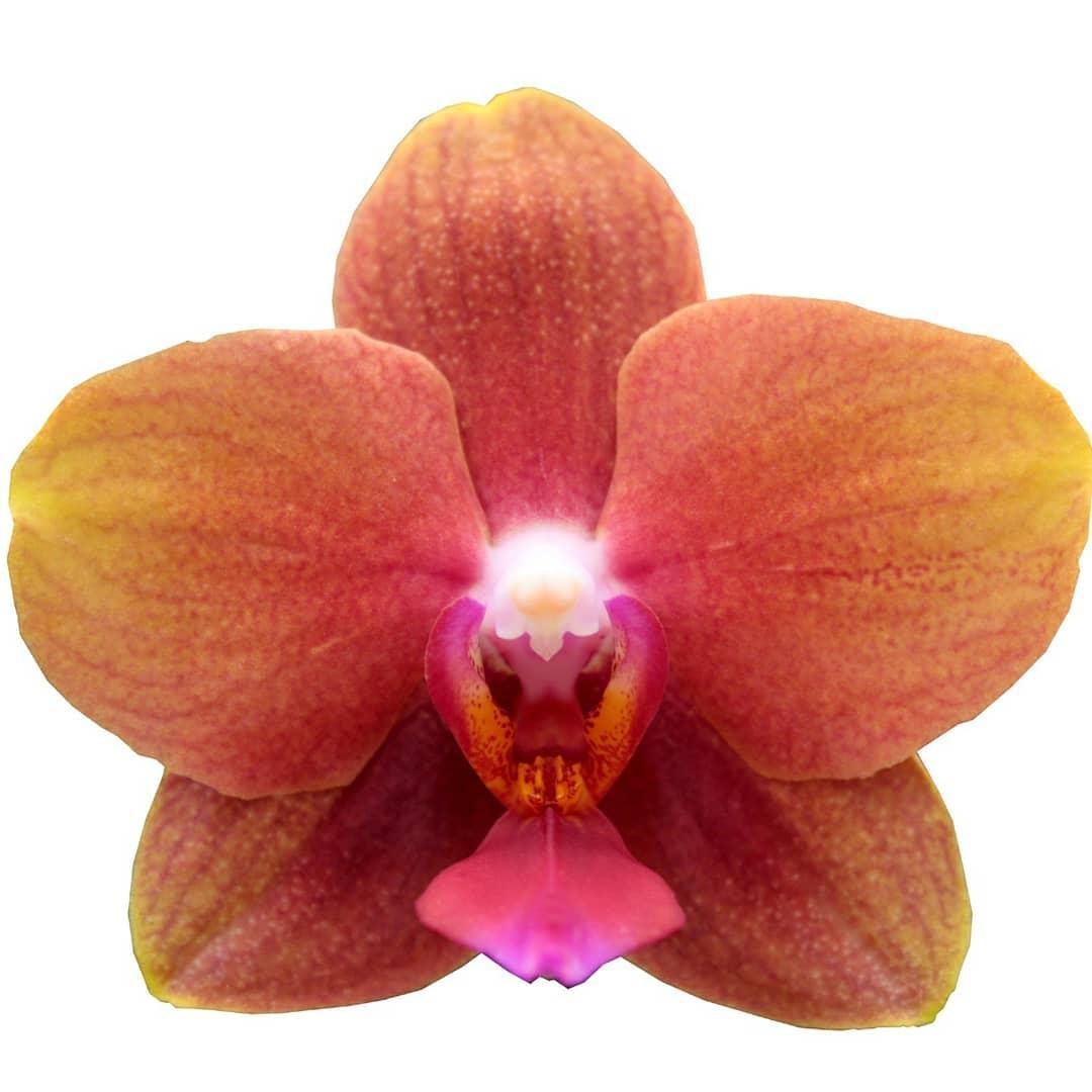 Подростки орхидеи. Сорт Evie 2, горшок 1.7, без цветов