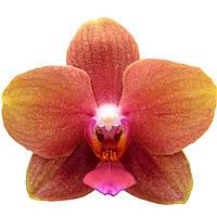 Подростки орхидеи. Сорт Evie 2, горшок 1.7, без цветов, фото 1