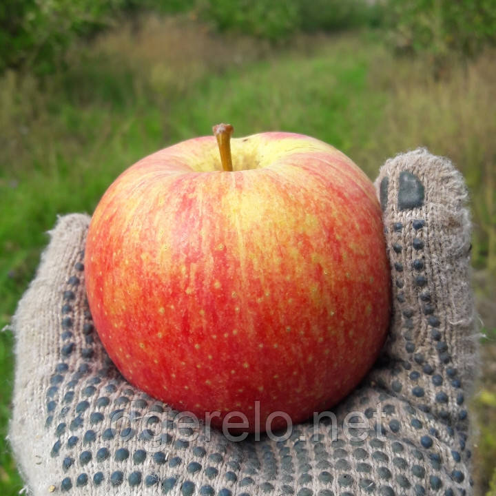 Саженцы яблони - сорт Мелба (летний)