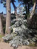 "Ель колючая ""Хупси"" Picea pungens 'Hoopsii' С90 h1,8-2м"