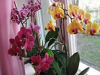Правила полива орхидей