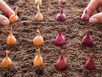 Советы по посадке лука-севка
