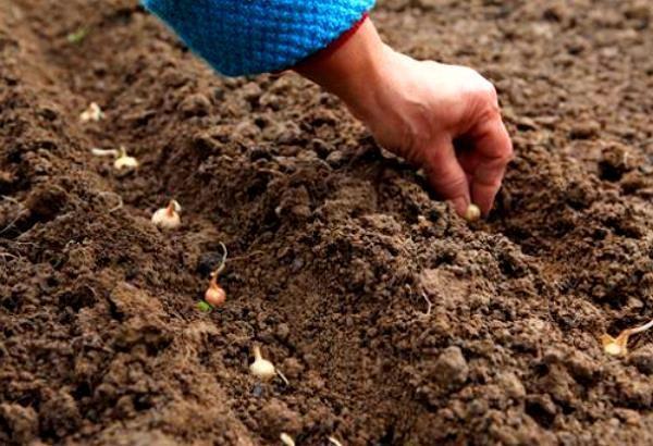 Посадка лука севка в лунки