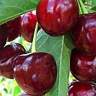 Саженцы Вишни Тургеневка – среднеранняя, скороплодная, урожайная, крупноплодная, фото 2