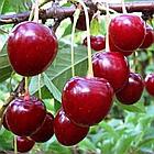Саженцы Вишни Тургеневка – среднеранняя, скороплодная, урожайная, крупноплодная, фото 3