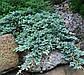 Ялівець горизонтальний Айс Блю трилітка, фото 2