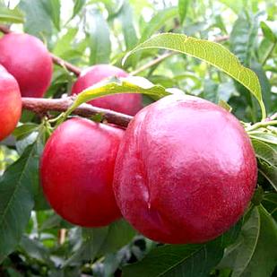 Саженцы Нектарина Харко - поздний, урожайный, зимостойкий