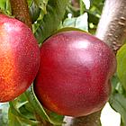 Саженцы Нектарина Фантазия - средний, неприхотливый, крупноплодный, фото 3