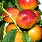Саженцы Нектарина Септембер Квин (September Queen) - поздний, неприхотливый, крупноплодный, фото 2