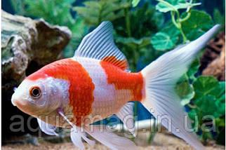Золотая рыбка Комета (7 - 9 см)