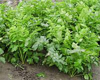Семена пастернака Белая жемчужина 500 гр., Agri-Saaten