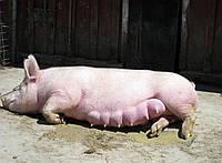 БВМД для Свиноматок «Шен Пиг Соу ST ЮА» 15-10%