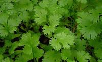 Семена кориандра (кинзы) Янтарь 150 гр., Agri-Saaten