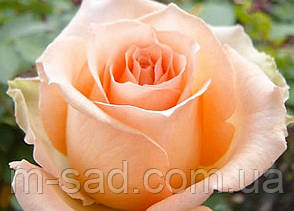 Саженцы чайно-гибридных роз Версилия, фото 2