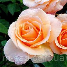 Саженцы чайно-гибридных роз Версилия, фото 3