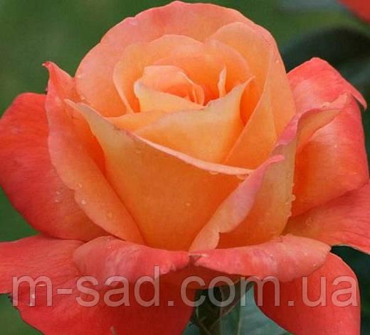 Роза Вуду, фото 2
