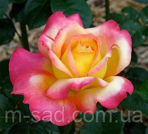 Роза Глория Дей, фото 2