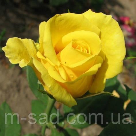 Роза Голден Медальон, фото 2