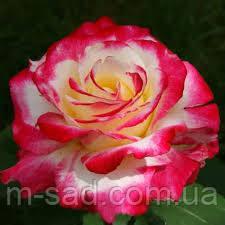 Роза Дабл Делайт, фото 2