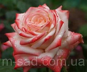 Саженцы роз Императрица Фарах, фото 2