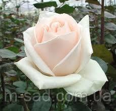 Роза Клер Океан, фото 2