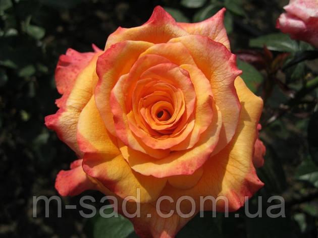 Роза Конго, фото 2