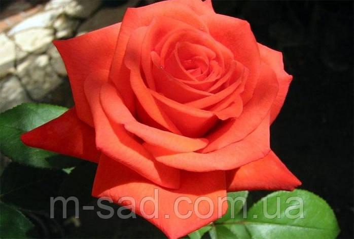 Роза Корвет, фото 2
