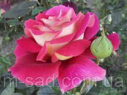 Саженцы роз Кроненбург, фото 2