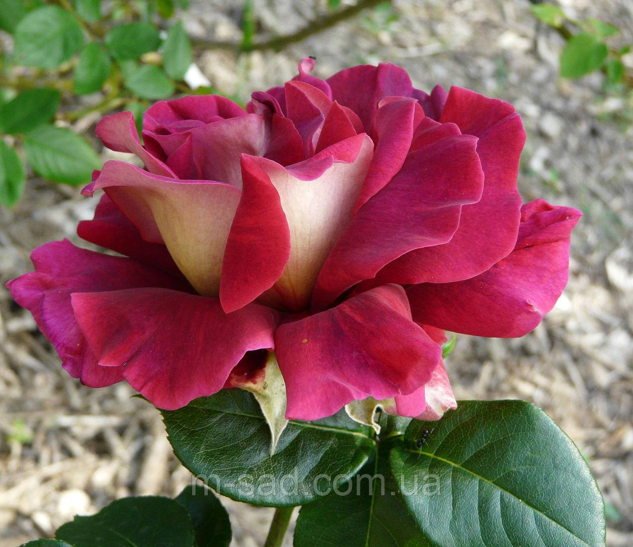 Саженцы роз Кроненбург