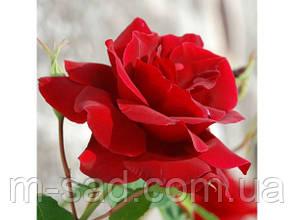Саженцы роз Лавли Ред, фото 2