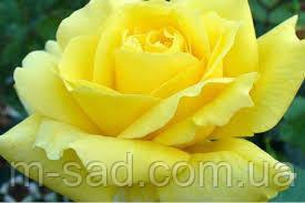 Роза Ландора, фото 2