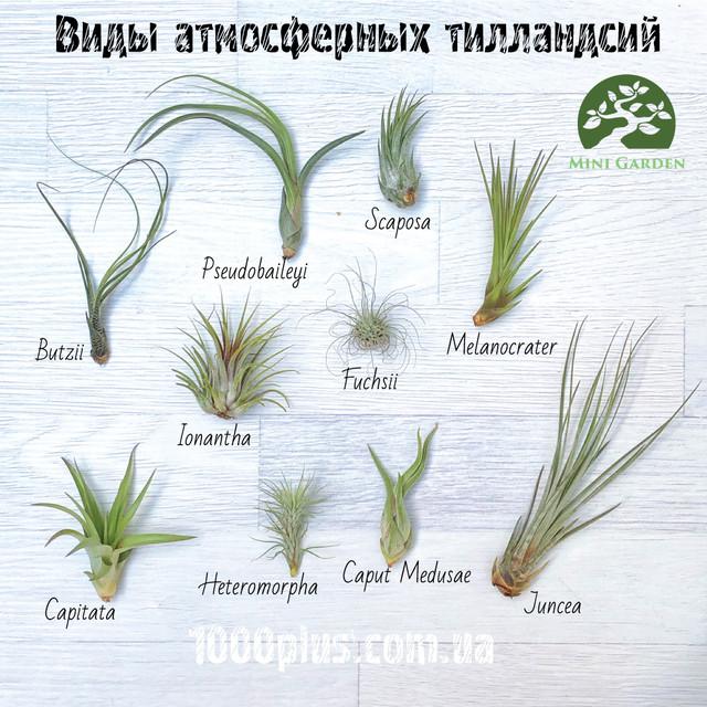 Основные виды тилландсий