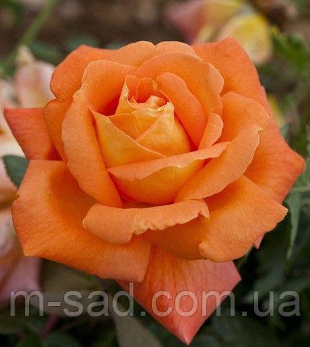 Роза Луи де Фюнес