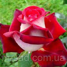 Саженцы чайно-гибридных роз Люксор