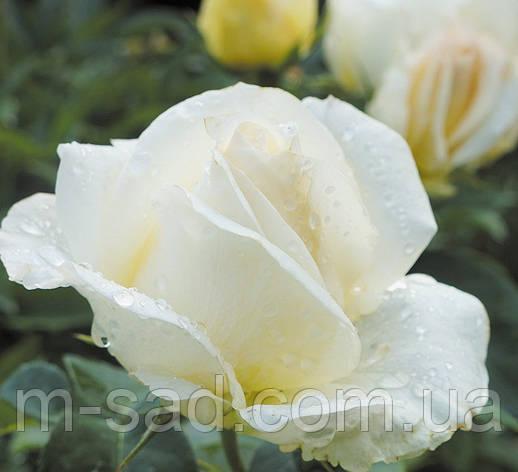 Роза Маунт Шаста, фото 2