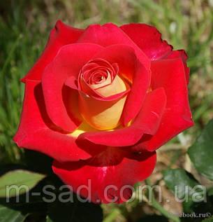 Роза Нью Фешн, фото 2
