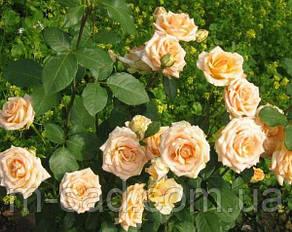 Саженцы роз Осиана, фото 2