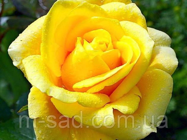 Роза Папилон, фото 2
