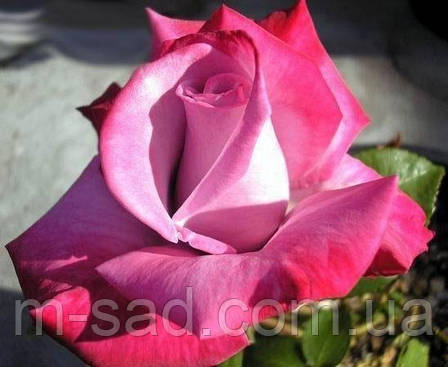 Роза Парадиз, фото 2