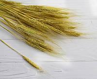 Колоски натуральные стабилизированные   ,   желто - зеленые       50 шт