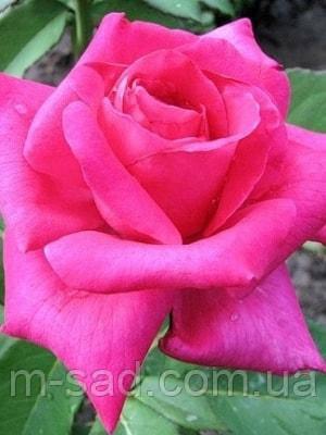 Роза Питер Франкенфельд, фото 2
