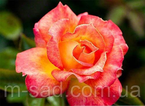Роза Пикадилли