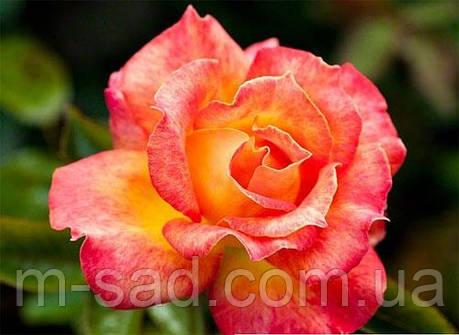 Роза Пикадилли, фото 2