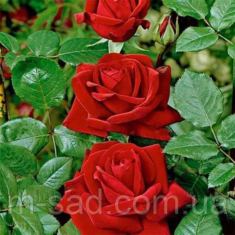 Саженцы роз Ред Берлин, фото 2
